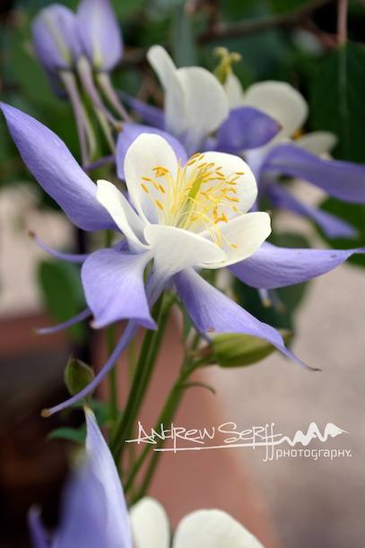 Columbine in Breckenridge