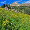 Colorado Summer Meadow