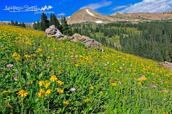 Colorado Summer Meadow